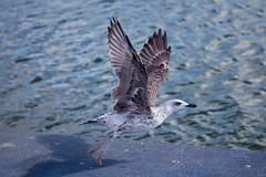 Takeoff ! (JOAO DE BARROS) Tags: barros joao takeoff seagull animal bird