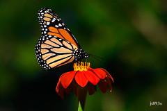 Monarch (jt893x) Tags: 150600mm butterfly d500 danausplexippus insect jt893x macro monarch nikon nikond500 sigma sigma150600mmf563dgoshsms specanimal