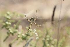 Argiope trifasciata (esta_ahi) Tags: massunyer larboçar penedès barcelona spain españa испания argiopetrifasciata argiope trifasciata araneidae arachnida aranya araña spider fauna