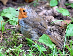red red robin (coral.hen4800) Tags: trees red sky food brown tree green robin fly flying woods gray nuts seed