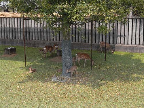 母子鹿の特別公開@鹿苑角きり場-05