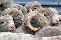 Ram heads