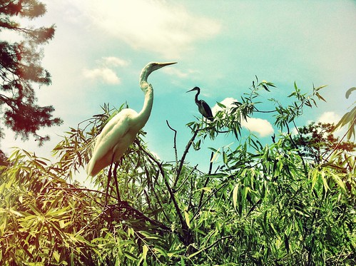 Egrets or something