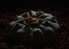 Lophophora Williamsii (Olen U.) Tags: lophophora williamsii