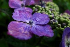 P1210871 (natsuki90) Tags: flower lumix panasonic dmc 水滴 lx5