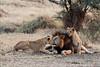 11. Culpable (belthelem) Tags: africa nikon king kenya wildlife lion safari cachorro mara felino simba león kenia masai lionking masaimara gamedrive mamífero pantheraleo carnívoro specanimal d300s