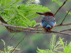 White Throated Kingfisher (dr nilesh marmat) Tags: bird ngc kingfisher halcyonsmyrnensis birdsofindia flickraward bijrani