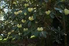 Rhododendron sinogrande: Specimen (sfb_dot_com) Tags: china flowers tree green yellow woodland spring asia evergreen alpine ericaceae shrub himalayas perennial cultivated dicot temperate sigma30mmf14exdchsm montane ericales cooltemperate calcifuge