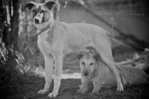 Spirit + Bugsy 9 month old Kelpie x Whippet AWDRI Star Dogs photographed by twoguineapigs Pet Photography, pet portraiture, dog photographer in Sydney.