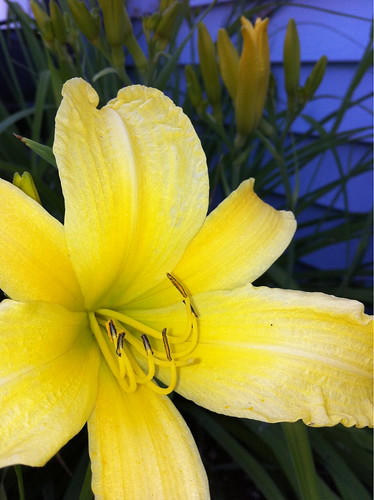 Yellow Day Lily by teach.eagle