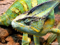Iguana (Benjamin von Tilly Kistner) Tags: africa travel wild color macro eye nature face animal animals yellow contrast germany de geotagged deutschland photography zoo photo eyes colorful photos reptile sony natur lizard gelb german camouflage disguise change afrika grn augen wuppertal kontrast chameleon farbe auge lizzard farbig gruen bunt sonycybershot tier cameleon echse drache leguan dschungel reptil chamaeleon eidechse chamleon tarnung colorchange getrant wuppertalerzoo anpassung camleon farbwechsel anpassen hx1 sonycybershotdschx1 mygearandme ringexcellence flickrstruereflection1