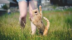 Crazy Molly (Matt(ikus)) Tags: summer cute grass cat 50mm kitten long attack fields claws attacking savage clawing