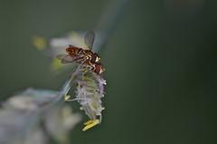 Hoverflies mating (Designs by iRis) Tags: macro animal closeup insect fly flies syrphidae diptera hoverflies nikond7000