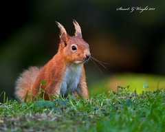 Wild UK Red Squirrel (Stuart G Wright Photography) Tags: uk red wild squirrel wildlife