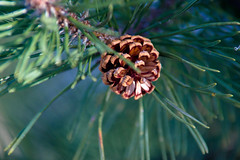 DSC02120 (Simply Angle) Tags: trees plants nature closeup pine spring sony mount pinecone om needles 80200mm 145 chewelahwa kitstar nex3