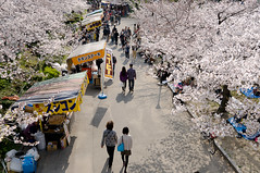 (VARDIGA) Tags: flower  cherryblossom sakura osaka tamron a55  tamron1750 1750mm