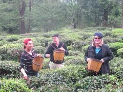 Tea picking (Globetrotting Gourmet) Tags: yunnan teapicking