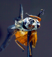 Fly face. (The Black Beret.) Tags: macro 50mm fly wings pin corpse bellows jeffgoldblum canoneos1d