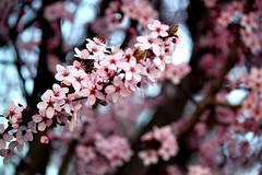 """""""And the day came when the risk to remain tight in a bud was more painful than the risk it took to blossom."""" Anais Nin ( fotodisignorina  Felicia Violi PHOTOGRAPHY) Tags: digital canon easter photography eos reflex spring dof blossom bokeh blossoming bud dep happyeaster anaisnin rebeltx"""