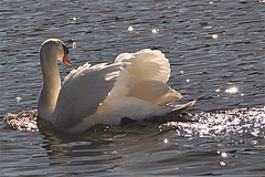 Spencer Sparkles (The Spirit of the World) Tags: california lake bird nature swan sandiego wildlife fowl spencer wow1 thegalaxy lakesanmarcos mygearandme rememberthatmomentlevel1 rememberthatmomentlevel2