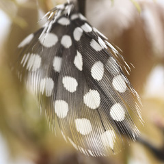 Feather of a guinea fowl (Nitekite) Tags: canon feather spots dots guineafowl macromondays nitekite numidinae