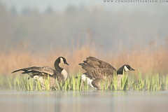 Morning Stretches (www.connorstefanison.com) Tags: lake canada geese connor goose burnaby stefanison