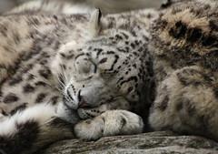 Snuggle Day (Helena Pugsley) Tags: animal snuggle warm sleepy bigcat cuddle asleep marwell snowleopard marwellwildlife