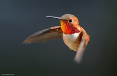 Male Rufous Hummingbird (Selasphorus rufus) (Photography Through Tania's Eyes) Tags: canada bird animal photography fly photo bill pom wings nikon photographer hummingbird bc image britishcolumbia okanagan wildlife flight feathers photograph okanaganvalley rufoushummingbird selasphorusrufus peachland copyrightimage malerufoushummingbird nikond7000 taniasimpson allofnatureswildlifelevel1 allofnatureswildlifelevel2 allofnatureswildlifelevel3
