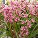 Large Cymbidium specimen grown for cut flowers