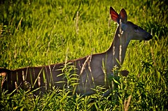WHITE TAIL DEER PRAIRIESCAPE (thomassylthe) Tags: green landscape nikon wildlife meadow deer forestpreserve nikkor whitetail 300mmf4 natuure greenscene grassyarea prairiescape