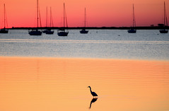 Heron and Boats (hpaich) Tags: desktop morning pink wild wallpaper sky orange bird heron nature water beautiful beauty animal breakfast marina sunrise