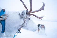 0044 (lesley v) Tags: holiday snow ice finland reindeer husky sweden arctic aurora northernlights january2013 davviarcticlodge