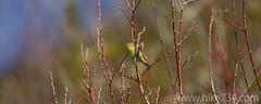 "Orange-crowned Warbler • <a style=""font-size:0.8em;"" href=""http://www.flickr.com/photos/63501323@N07/14082013064/"" target=""_blank"">View on Flickr</a>"