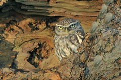Little Owl (Athene noctua) (Col-Page) Tags: