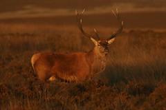 Taking In The evening Light (Derbyshire Harrier) Tags: sunset glow autumn 2016 peakdistrict stag peakpark derbyshire easternmoors rspb wildreddeer male heather september reddeer rut