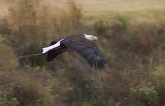on the move (mommapostal) Tags: eagle eagles bird bald