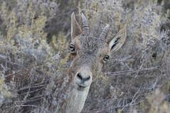 Montesa (Pedro del Prado) Tags: cabramonts cerrogordo espaciosnaturales fauna mamiferos maro