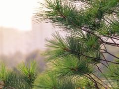 Brateevo Park (ivan.dolgoff) Tags: olympusepl3 moscow park pines russia