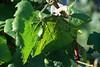 IMGL7793 (harleyxxl) Tags: südsteiermark herbst weinblatt