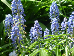 In a good light (candiceshenefelt) Tags: sunlit sunny hyacinth grapehyacinth