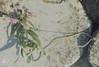 Galeopsis angustifolia, narrow-leaved hemp nettle. Late, long-rooted seedling. Gileston, 13/10/75