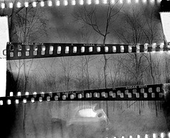 4x5 trees, 35mm style (capwell) Tags: 4x5 crowngraphic betterlucknexttime