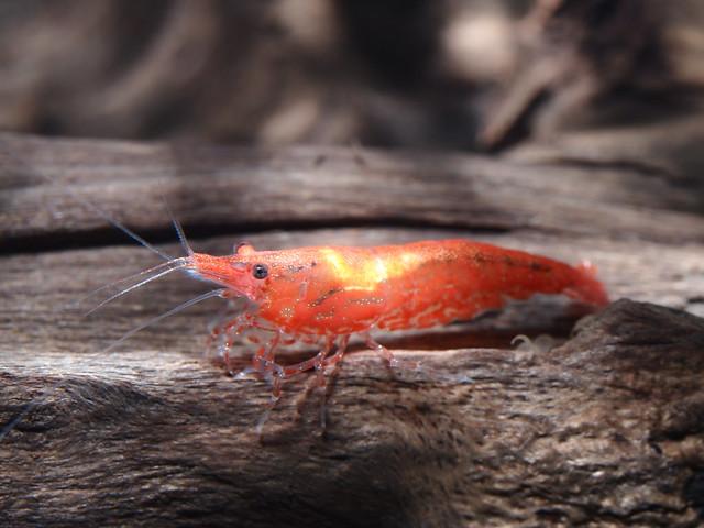 P6010997 玫瑰蝦