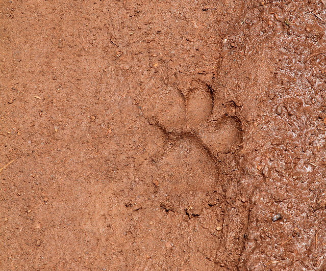 Tigers Paw