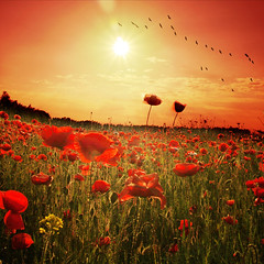 ~ poppy sunset ~ (~ Pixel Passion ~) Tags: flowers trees light sunset shadow red summer sky orange sun black hot flower green nature field grass birds silhouette yellow clouds landscape evening fly flying spring shiny warm mood glow moody shine sundown natural dusk meadow atmosphere sunny poppy poppies late sunrays atmospheric