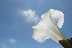 Hope you all had a Happy Sunny day (Rusty Marvin - JohnWoracker.com) Tags: datura thornapple locoweed hellsbells devilsweed stinkweed devilstrumpet jamestownweed tolguacha devilscucumber pricklyburr daturastramoniumjimsonweed moonflowersunclouldflower