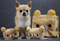 "Rilakkuma are gifts for him:)   Rilak""Kanon"":P (kanonyobo) Tags: chihuahua canon kanon rilakkuma  5dmark2 gettyimagesjapan12q2"