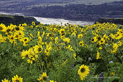 Columbia Gorge_1869_Wildflowers_WM (chasingthelight10) Tags: travel flowers plants usa nature oregon photography landscapes seasons bend events places columbiariver wildflowers vistas gorges canyons lupine columbiarivergorge balsamroot rowenaplateau tommccallpreserve otherkeywords