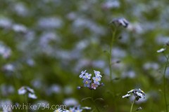 "Forget-me-not • <a style=""font-size:0.8em;"" href=""http://www.flickr.com/photos/63501323@N07/5886632996/"" target=""_blank"">View on Flickr</a>"