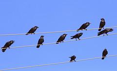Australian Ravens :  Noisy Jazz ... .. . (Clement Tang ** busy **) Tags: morning winter bird nature wildlife australia victoria crow avian birdwatcher australianraven corvuscoronoides closetonature concordians templetowevillage
